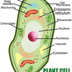 Simple Easy Plant Cell Diagram Animal 2002 Mitsubishi Galant Radio Wiring Anatomy Of A | Kids School Helper Pinterest Plants, The And Google
