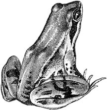 17 Best ideas about Frog Drawing on Pinterest  Frog