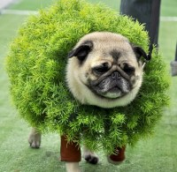27 best images about Pug Costumes for chewy on Pinterest ...
