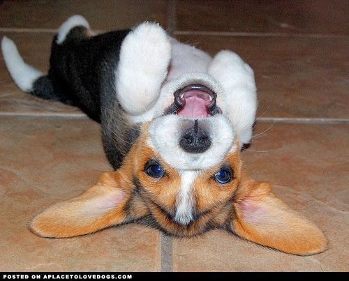 78 Best Images About Beagles! On Pinterest Hold On