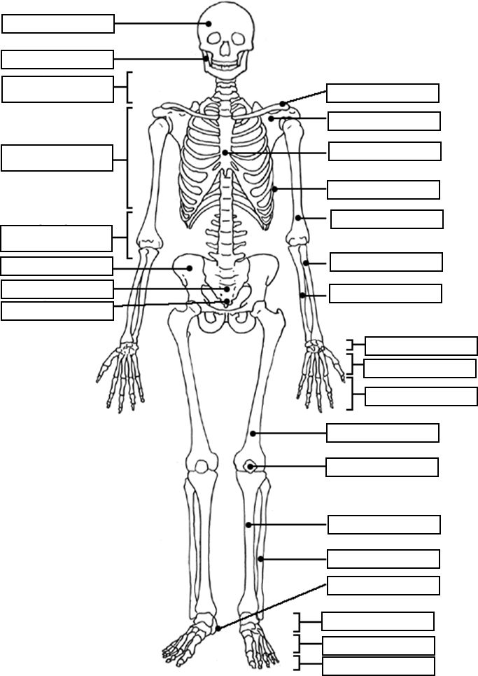 25+ best ideas about Human skeleton images on Pinterest