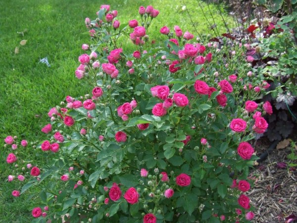 10 Best images about Roses I Want on Pinterest Shrub