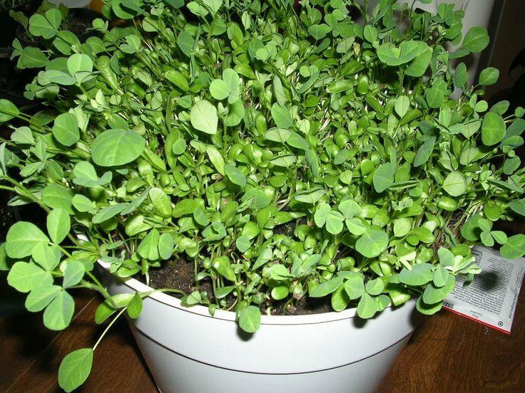 kitchen greenhouse window turntable fenugreek methi plant- two (2) live plants - not seeds ...