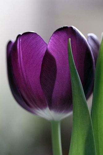 25 best ideas about Purple tulips on Pinterest  Pretty flowers Planting tulips and Beautiful