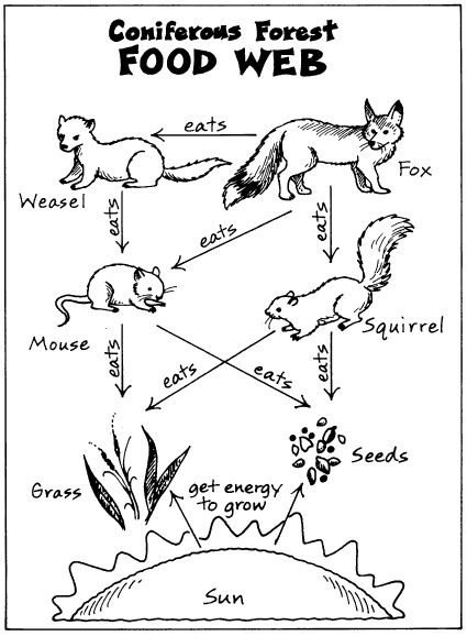 10 Best images about 6th Grade Food Web/Energy Pyramid on