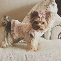 25+ best ideas about Yorkie on Pinterest | Yorkshire ...