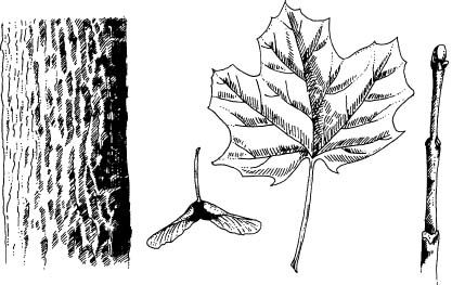 45 best images about Tree Identification on Pinterest