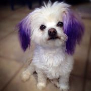 dyed marilyn's ears with purple