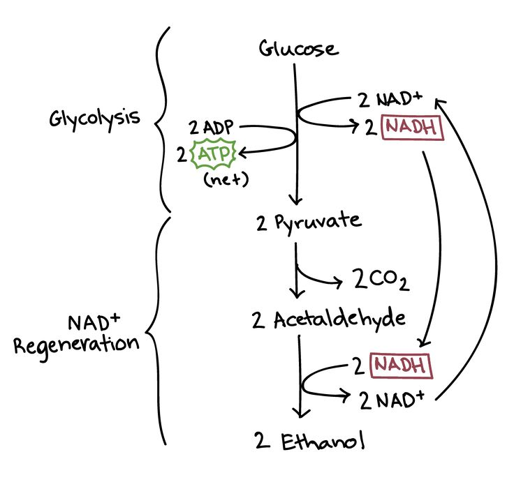20+ best ideas about Anaerobic Respiration on Pinterest