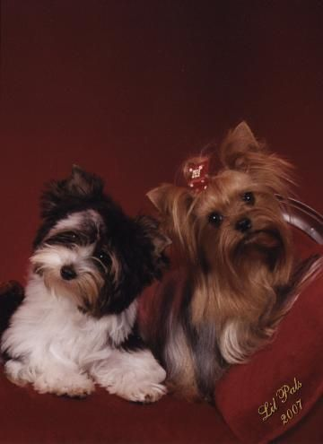 Yorkies Valentines And So Cute On Pinterest