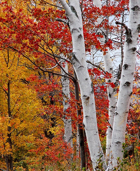 Birch Tree Fall Wallpaper Close Up 17 Best Images About Tree Canopy On Pinterest National