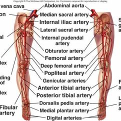 Cbc Fishbone Diagram Kenwood Kdc 355u Wiring Blood Vessels | Anatomy Pinterest More Ideas