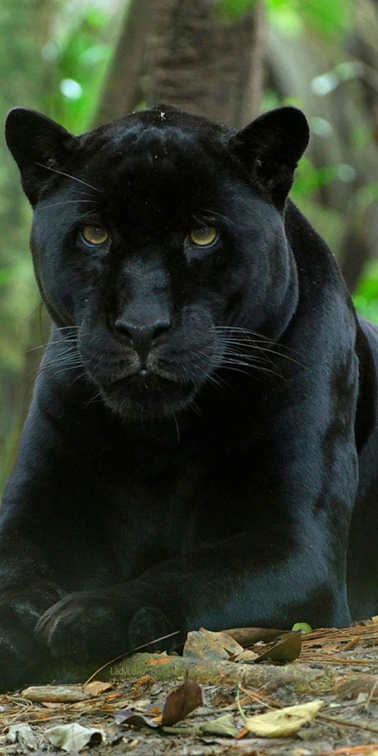 25 Best Ideas About Black Jaguar On Pinterest Black