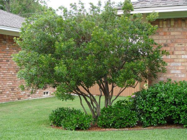 wax myrtle tree backyard landscape