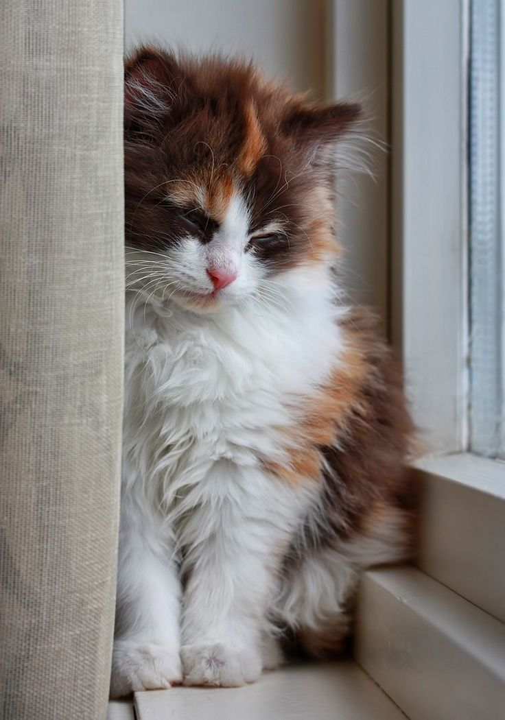 17 Best Images About Calico CATS YES On Pinterest