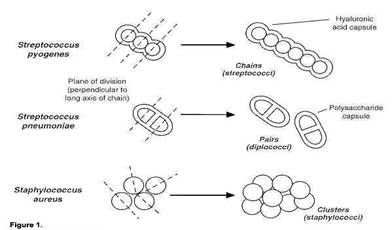 Staphylococcus Vs Streptococcus, a comprehensive analysis