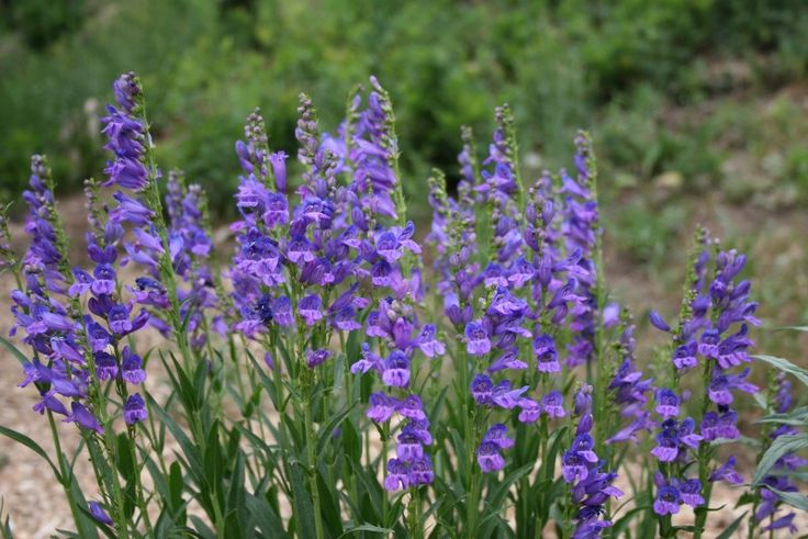 30 best images about colorado native plants on pinterest