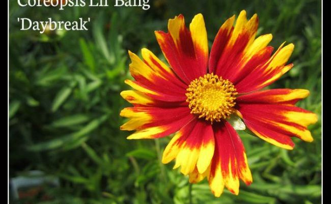 Coreopsis Lil Bang Daybreak Is A Compact Perennial