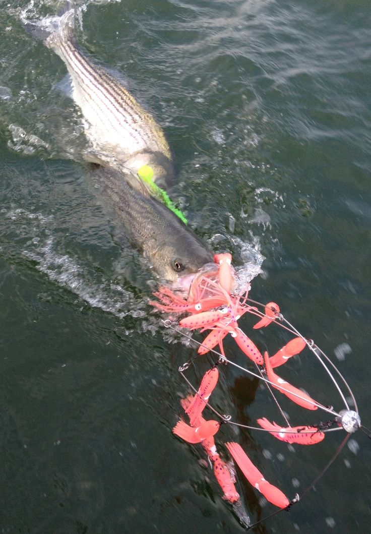 how to catch striped bass from shore