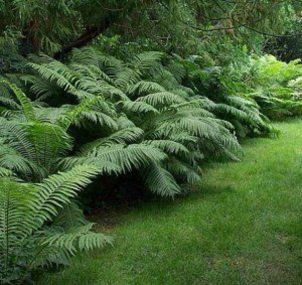 3 specie di felci per un giardino verde e rigoglioso anche for Arbusti sempreverdi da giardino