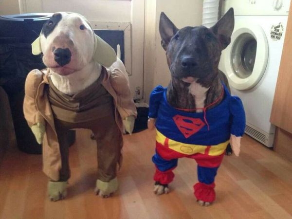 77 best images about English Bull Terrier Costume on