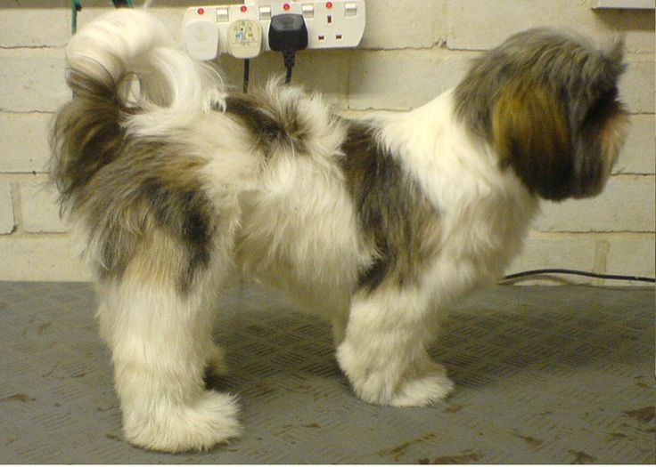 Shih Tzu Haircuts Before And After Canine Pinterest