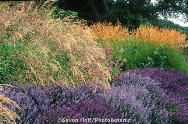 miscanthus sinensis grass lavender