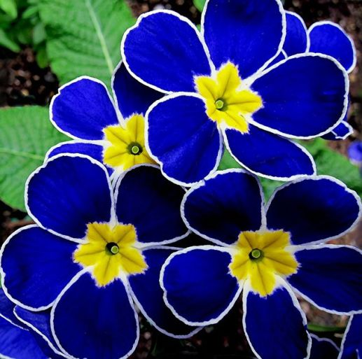 Blue and yellow primroses: