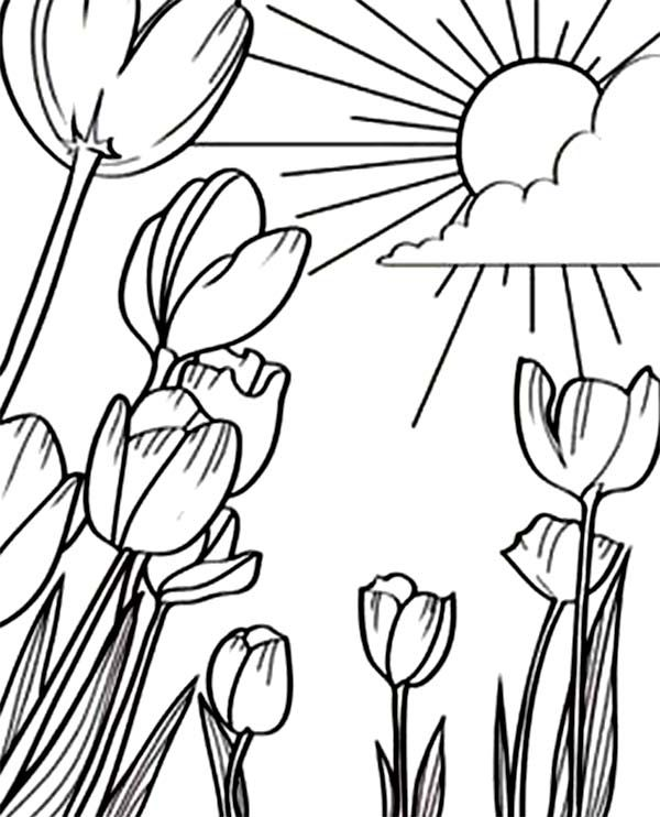 Tulips, : A Beautiful Sunshine in Tulips Field Coloring