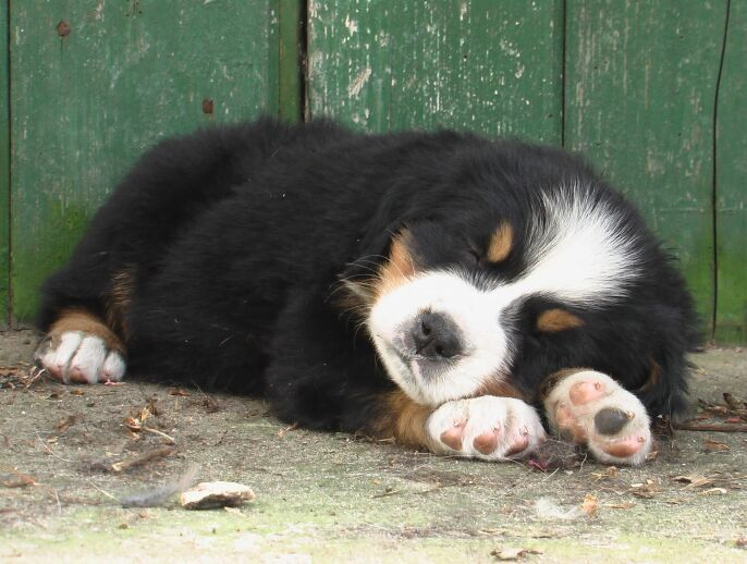 Cute Bernese Mountain Dog Puppies Wallpaper One Day I Will Have One Or Two Of These Cute Berner