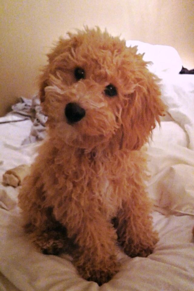 17 Best Images About Spoodle On Pinterest Poodles Old
