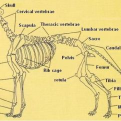 Cow Skeleton Bones Diagram Hair Skin Structure Picture Of Dog | Dogs Pinterest Pictures Dogs, Anatomy And