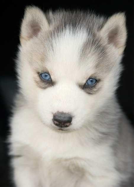 Cute Little Gray Cat For Wallpaper 25 Best Ideas About Wolf Husky On Pinterest Animals My
