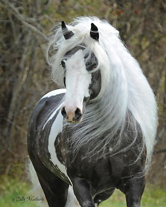 25 Best Ideas About Gypsy Horse On Pinterest Pretty