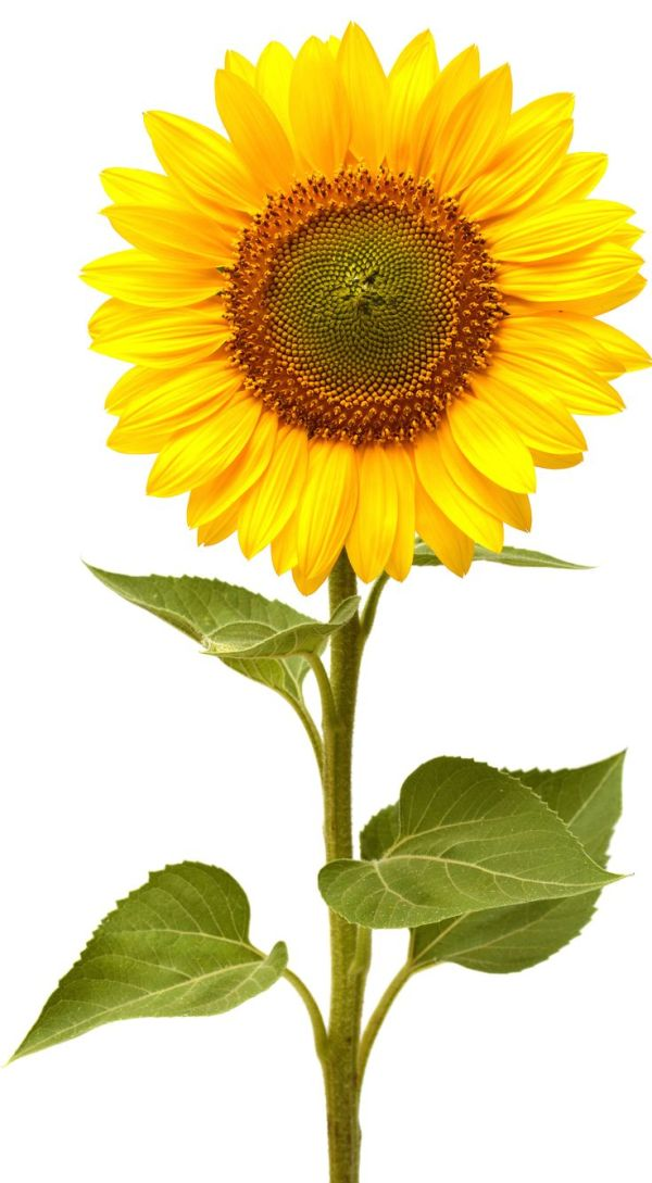 wallpapers of sunflower