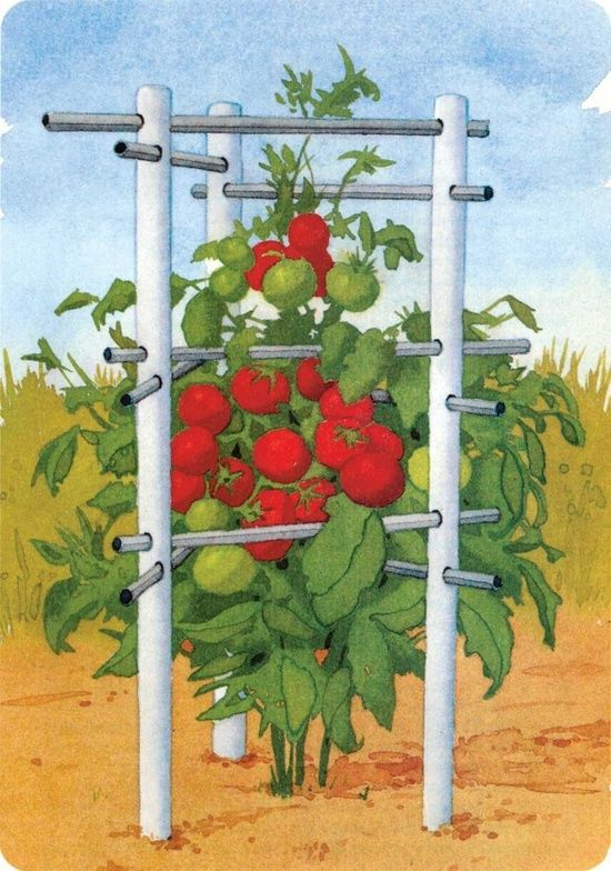 Pin Tomato Plant Diagram On Pinterest