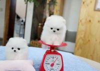 25+ best White Pomeranian ideas on Pinterest | White ...