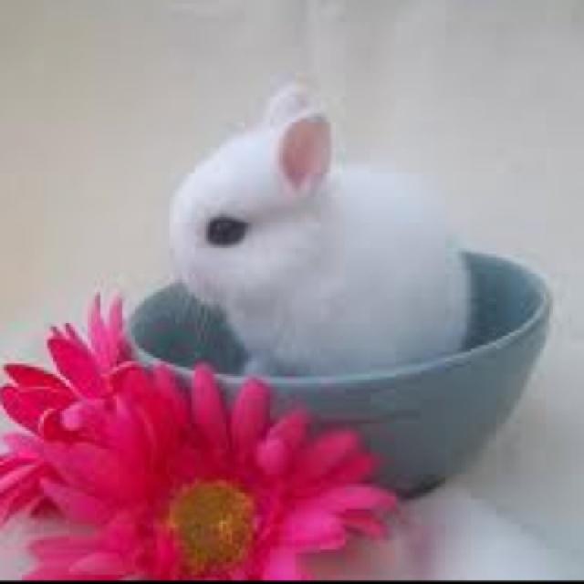 17 Best Images About Rabbits Dwarf Hotot On Pinterest