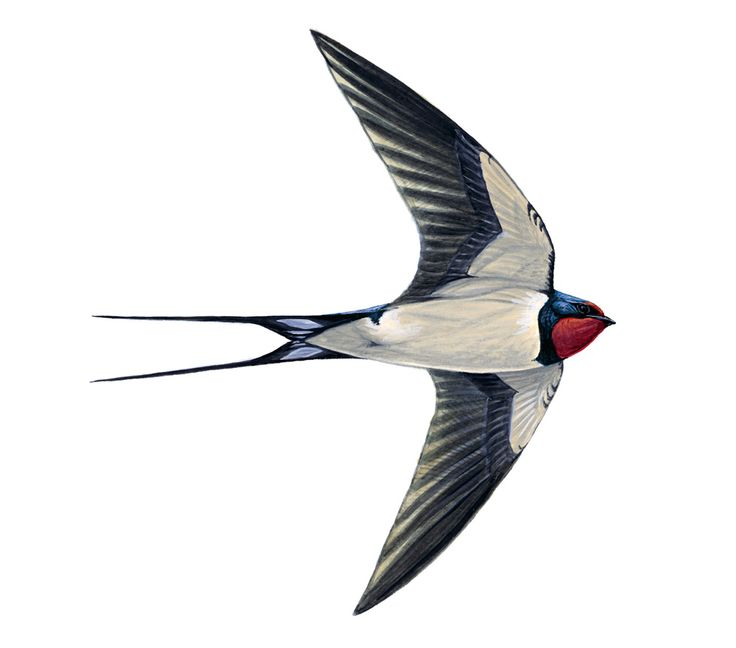 Swallow  Very Defined Forked Tail And Red On The Head
