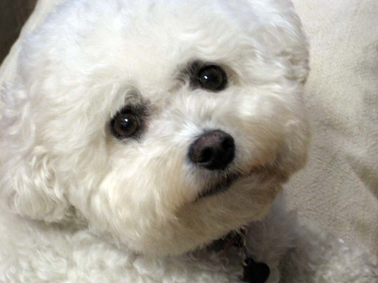 Cute Baby Wallpapers Online Shopping Curious Sofa S My Baby Beautiful Puppy Face Bichon