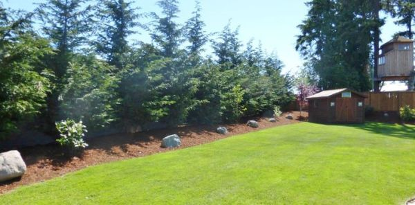 pine trees backyard landscaping