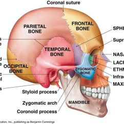 Lateral View Skull Sutures Diagram How To Wire A Three Way Switch 3 Of The Human Brain - Google Search | Skeletal And Axial System Pinterest O ...