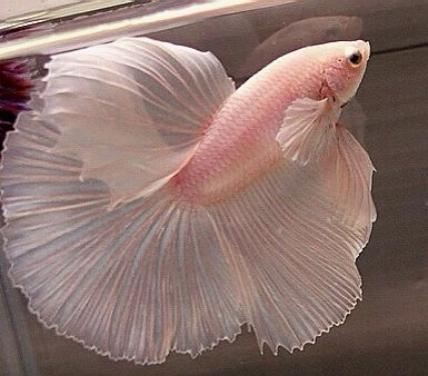 Cute Goldfish Wallpaper Pale Pink Betta Fish In The Pink Pinterest Betta