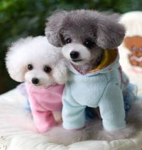 1000+ images about Poodle Love! on Pinterest | Toy poodles ...