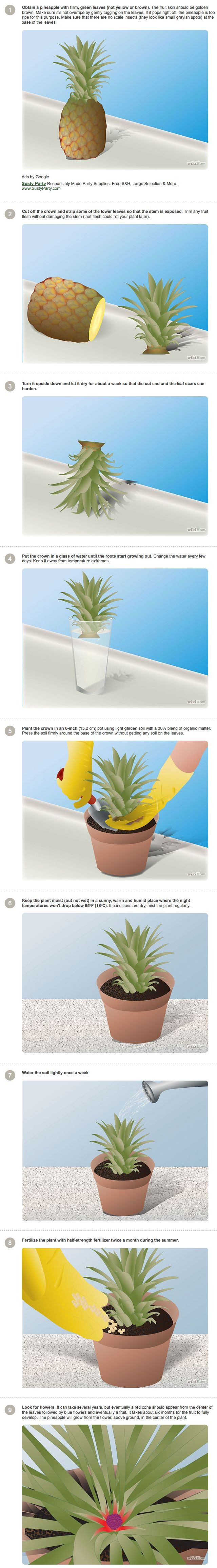 How to grow a pineapple tre