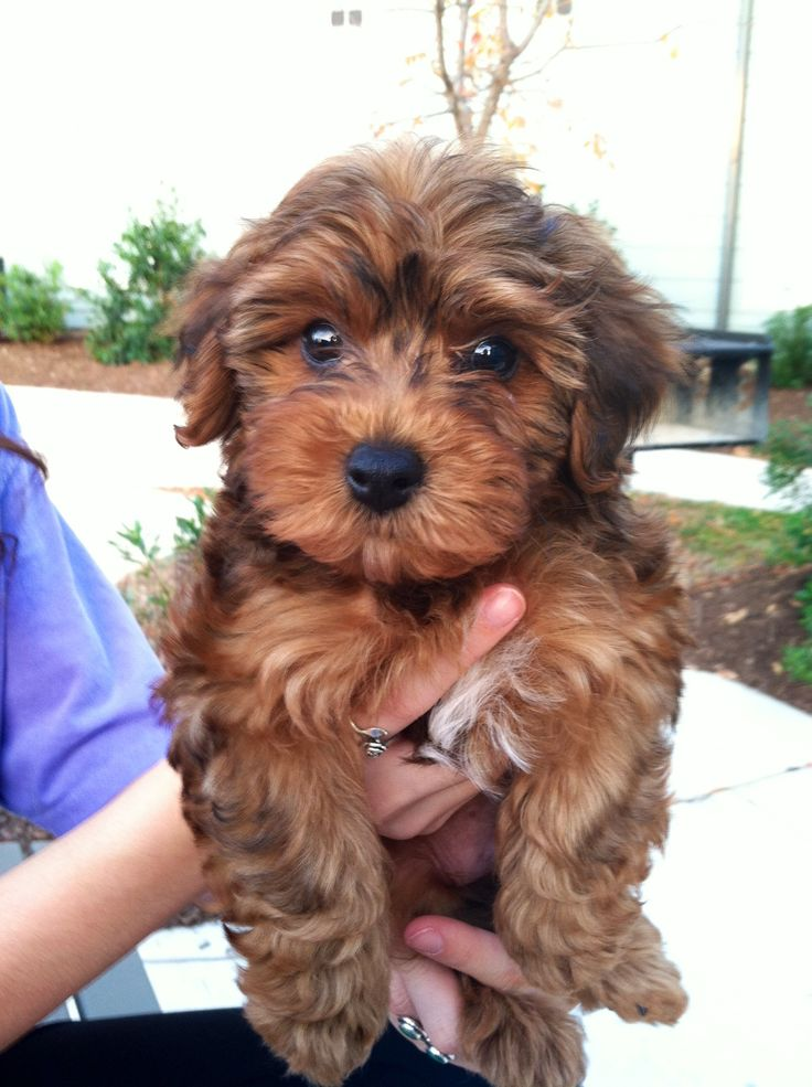Yorkiepoo Dogs Cute This Looks Like Bella For The