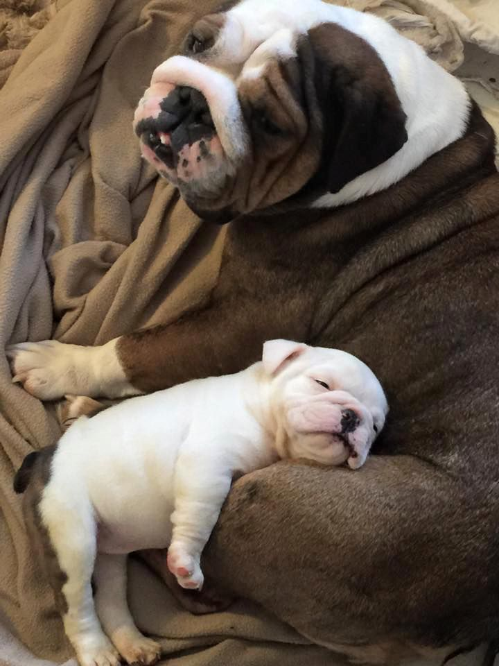 13174 best images about Bulldogs on Pinterest  Bulldog