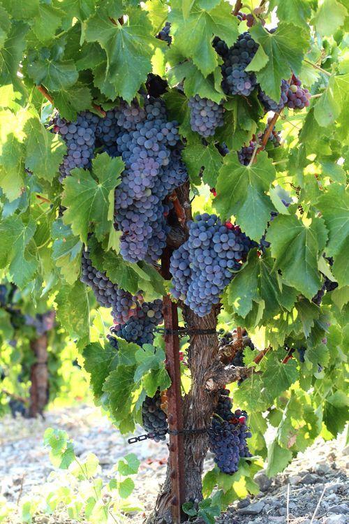 Grenache Grapes At Harvest Time Tablas Creek Vineyard