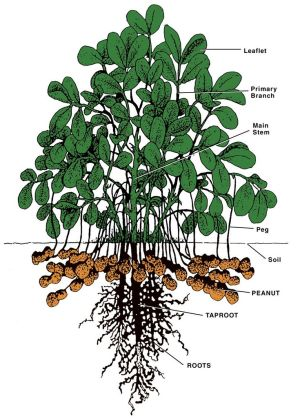 Peanut plant diagram | FASCINATINGNESS | Pinterest | The