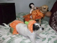 Halloween Dog Costume This is my Jolie~ pumpkin & Oobe